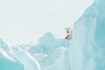 Niedźwiedzie polarne | Wiersz